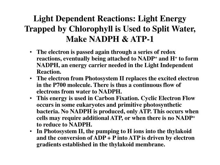 Light Dependent Reactions: Light Energy Trapped by Chlorophyll is Used to Split Water, Make NADPH & ATP-1