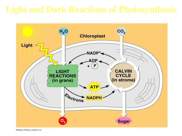 Light and Dark Reactions of Photosynthesis