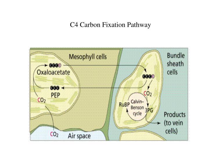 C4 Carbon Fixation Pathway