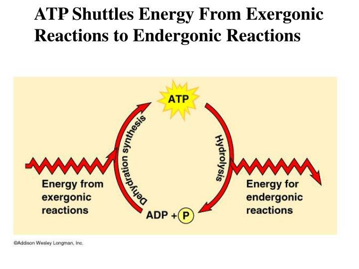 ATP Shuttles Energy From Exergonic