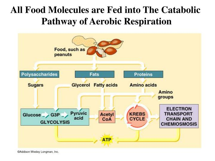 All Food Molecules are Fed into The Catabolic
