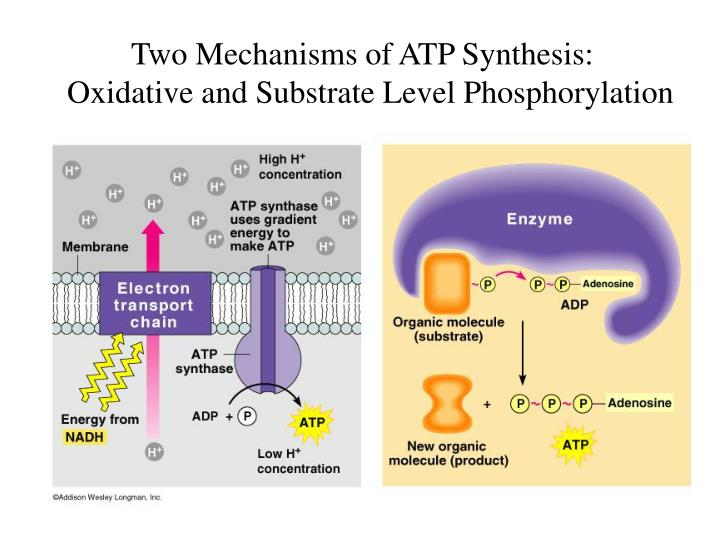 Two Mechanisms of ATP Synthesis: