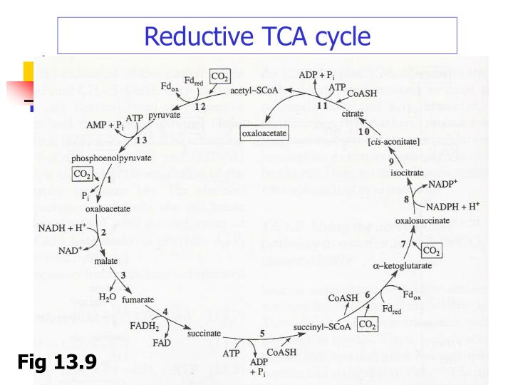 Reductive TCA cycle