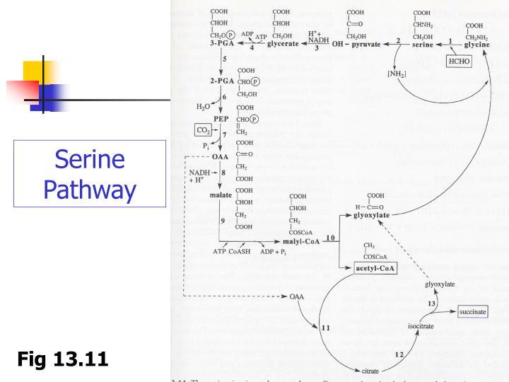 Serine Pathway