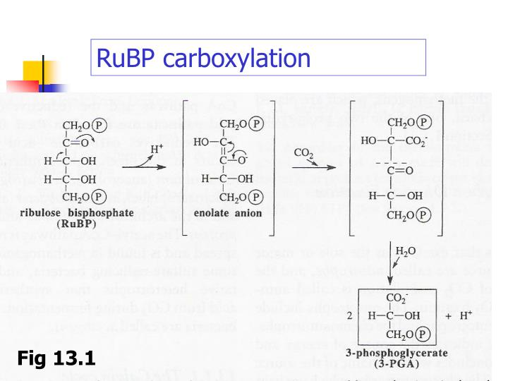 RuBP carboxylation