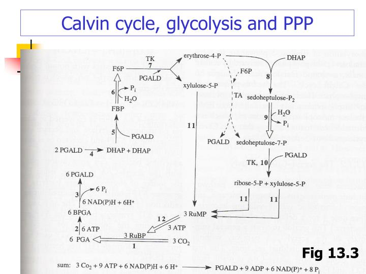 Calvin cycle, glycolysis and PPP