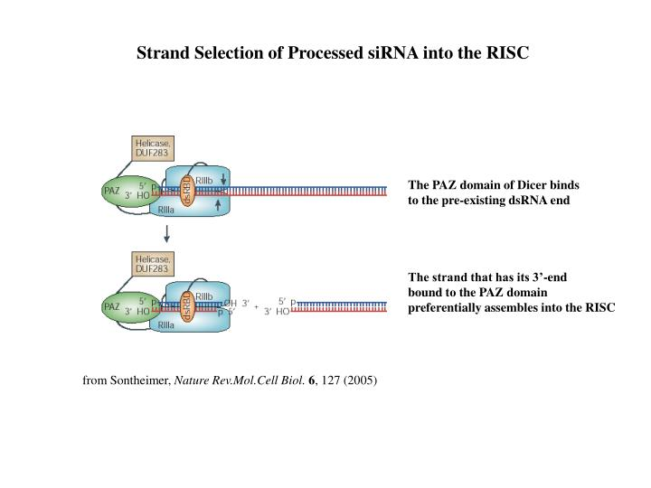 Strand Selection of Processed siRNA into the RISC