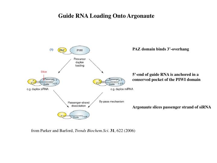 Guide RNA Loading Onto Argonaute