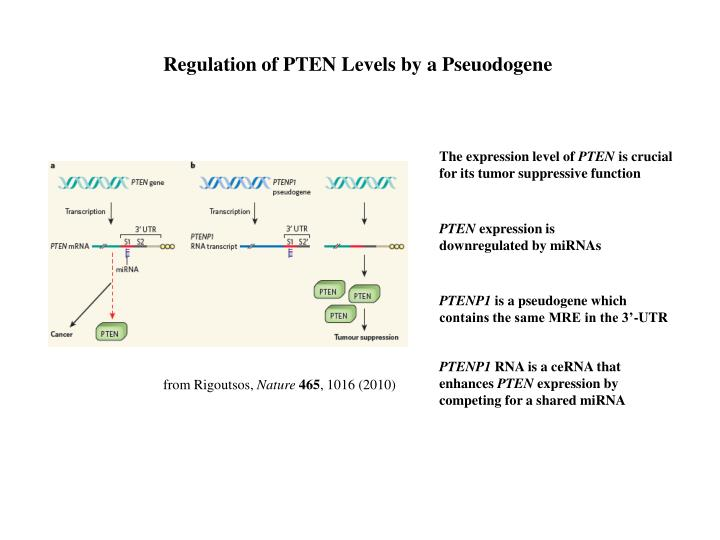 Regulation of PTEN Levels by a Pseuodogene