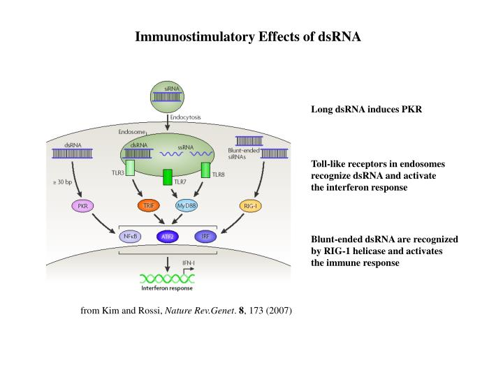 Immunostimulatory Effects of dsRNA