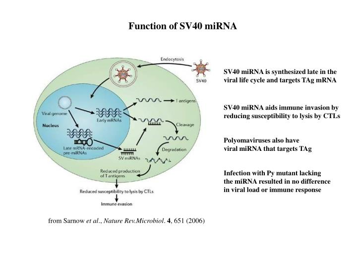 Function of SV40 miRNA