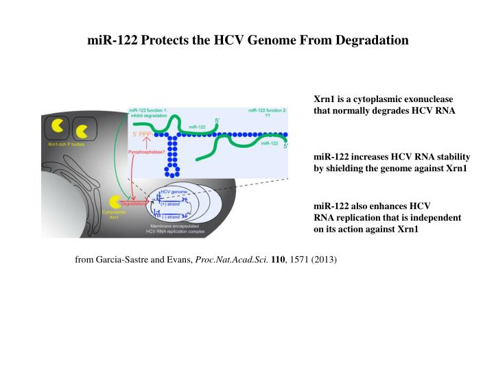 miR-122 Protects the HCV Genome From Degradation