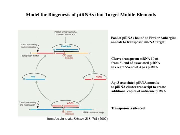 Model for Biogenesis of piRNAs that Target Mobile Elements