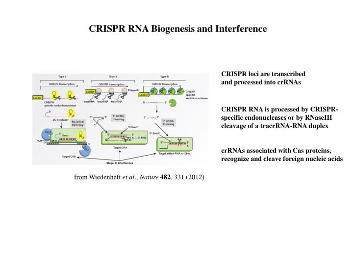 CRISPR RNA Biogenesis and Interference
