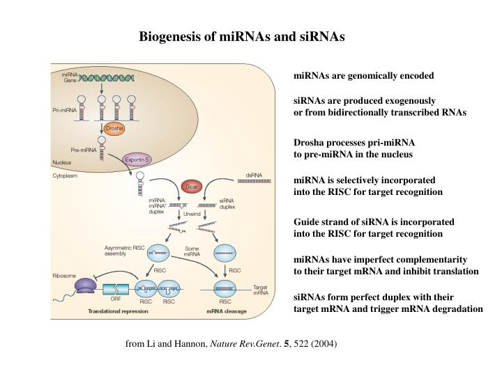 Biogenesis of miRNAs and siRNAs