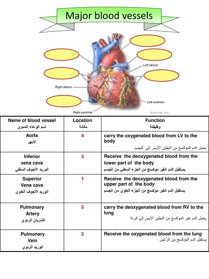 Major blood vessels