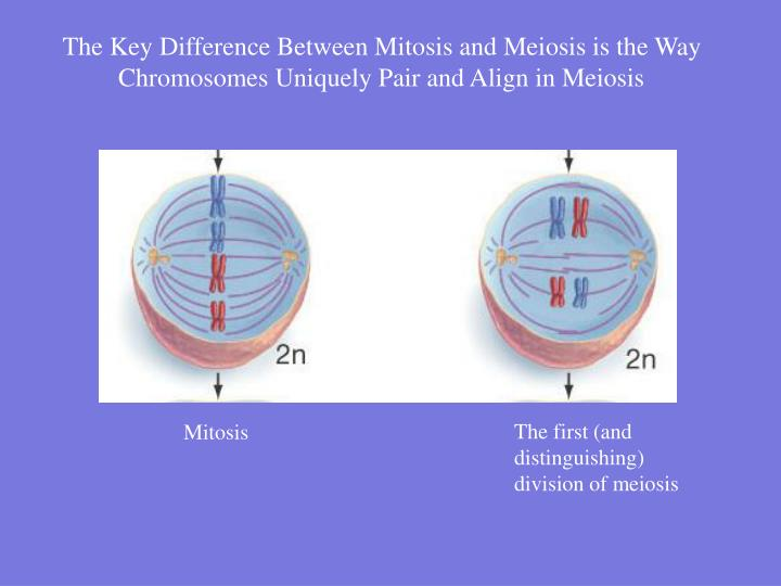 The Key Difference Between Mitosis and Meiosis is the Way Chromosomes Uniquely Pair and Align in Meiosis