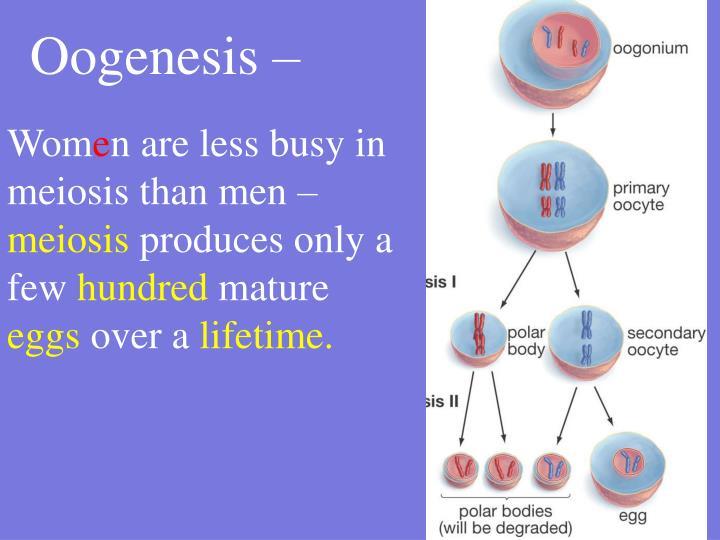 Oogenesis –
