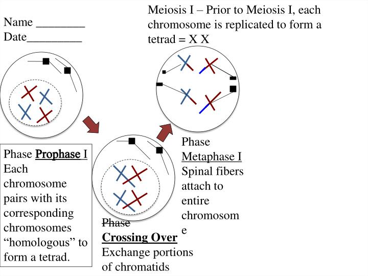 Meiosis I – Prior to Meiosis I, each chromosome is replicated to form a tetrad = X X