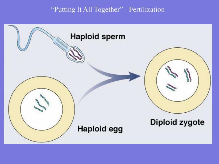 """Putting It All Together"" - Fertilization"