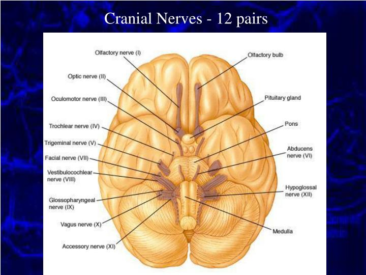Cranial Nerves - 12 pairs