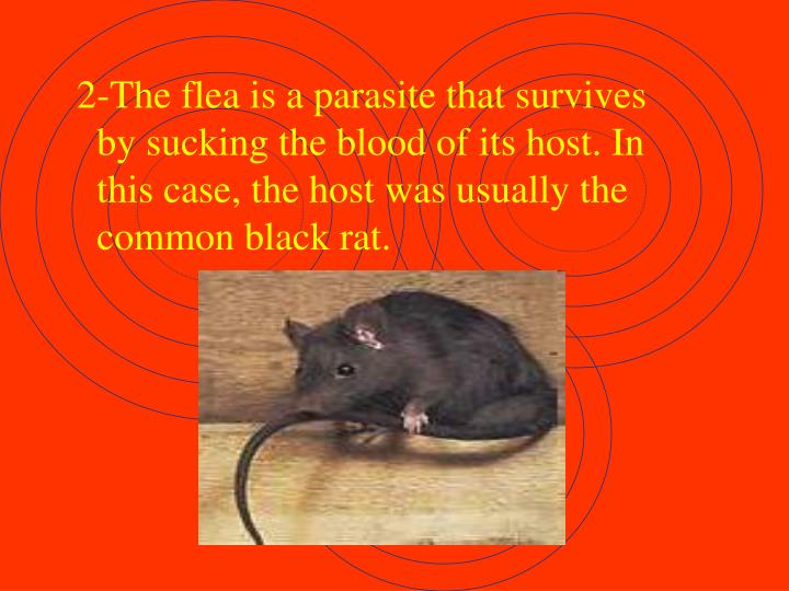 2-The flea is a parasite that survives by sucking the blood of its host. In this case, the host was usually the common black rat.