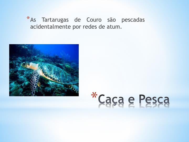 As Tartarugas de Couro são pescadas acidentalmente por redes de atum.