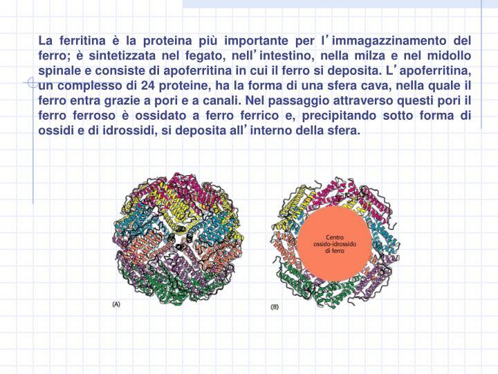 La ferritina è la proteina più importante per l