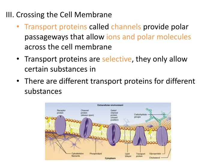 III. Crossing the Cell Membrane