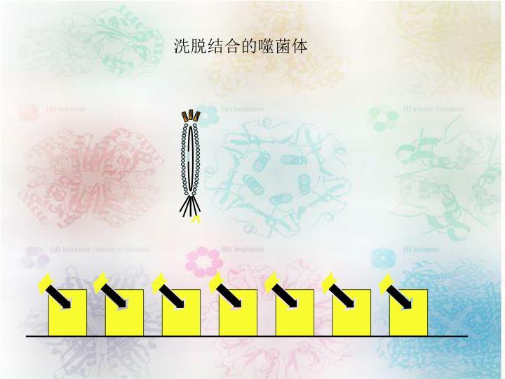 洗脱结合的噬菌体