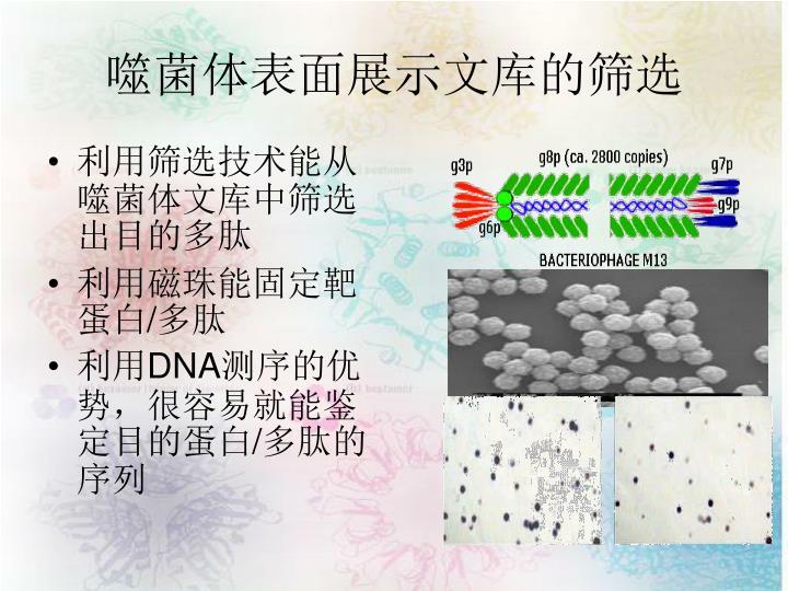 噬菌体表面展示文库的筛选