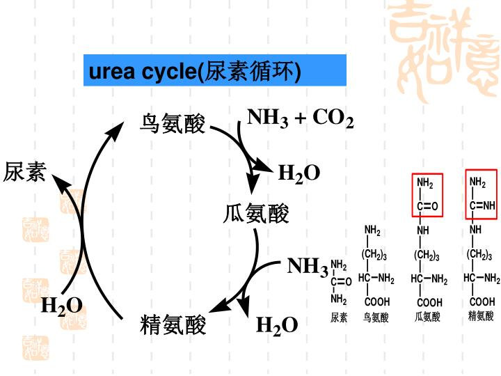 urea cycle(