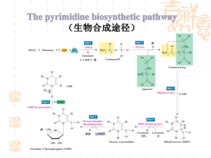 The pyrimidine biosynthetic pathway