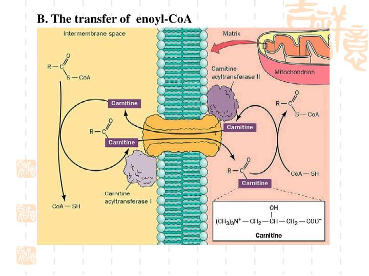 B. The transfer of  enoyl-CoA