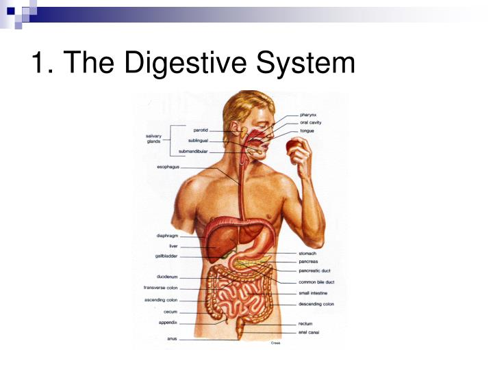 1. The Digestive System