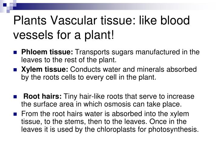 Plants Vascular tissue: like blood vessels for a plant!