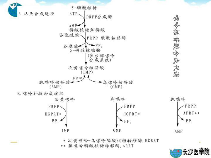 嘌呤核苷酸合成代谢