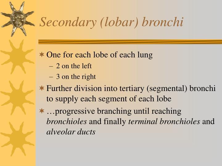 Secondary (lobar) bronchi