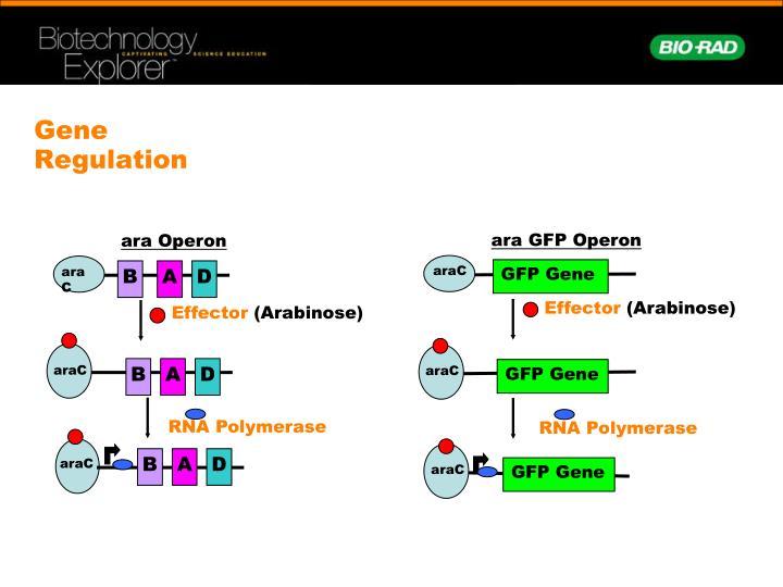 ara GFP Operon