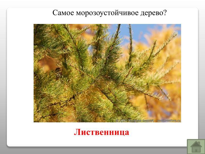 Самое морозоустойчивое дерево?