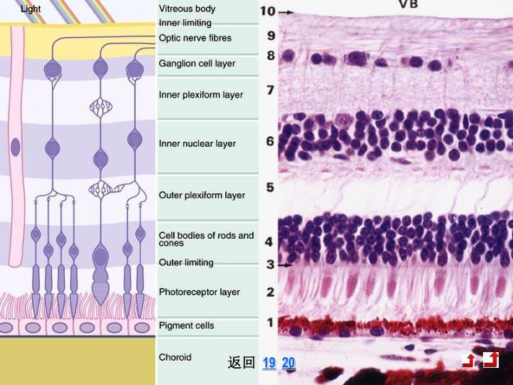 视网膜构造 1