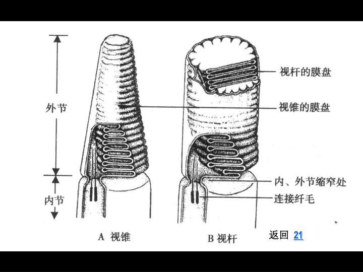 视锥细胞与视杆细胞 2