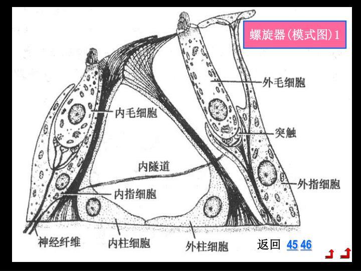 螺旋器(模式图)1