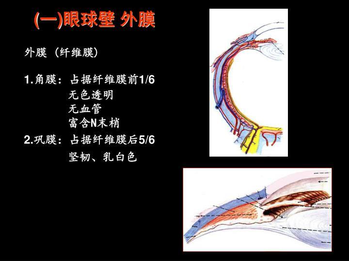 (一)眼球壁 外膜