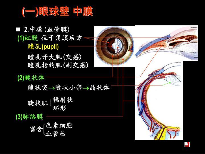 (一)眼球壁 中膜