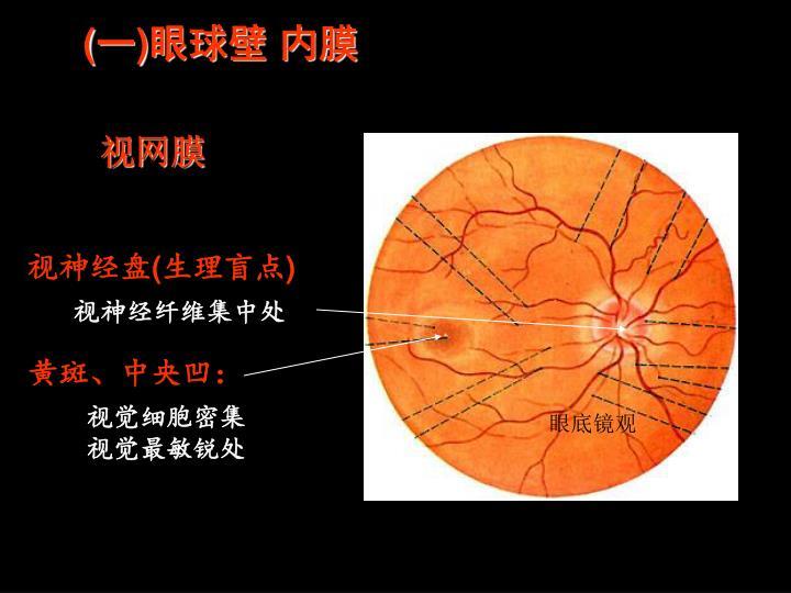 (一)眼球壁 内膜