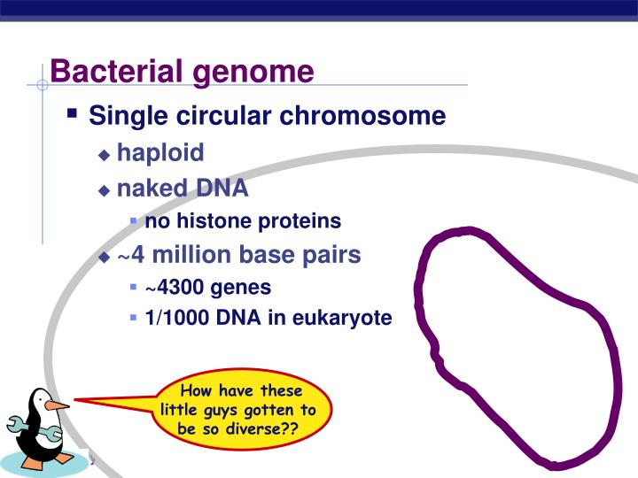 Bacterial genome