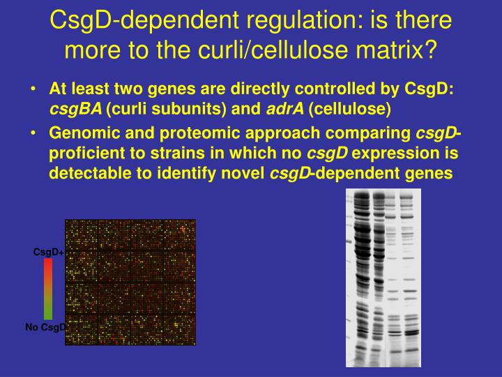 CsgD-dependent regulation: is there more to the curli/cellulose matrix?