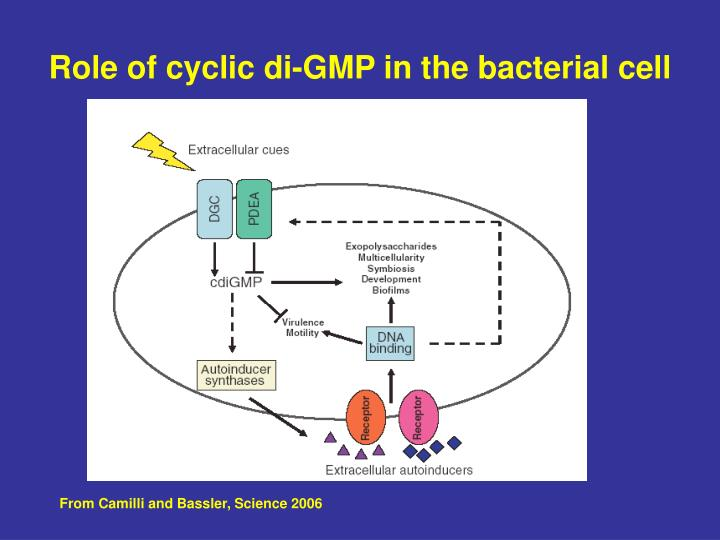 Role of cyclic di-GMP in the bacterial cell