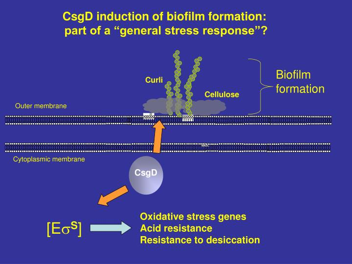 CsgD induction of biofilm formation: